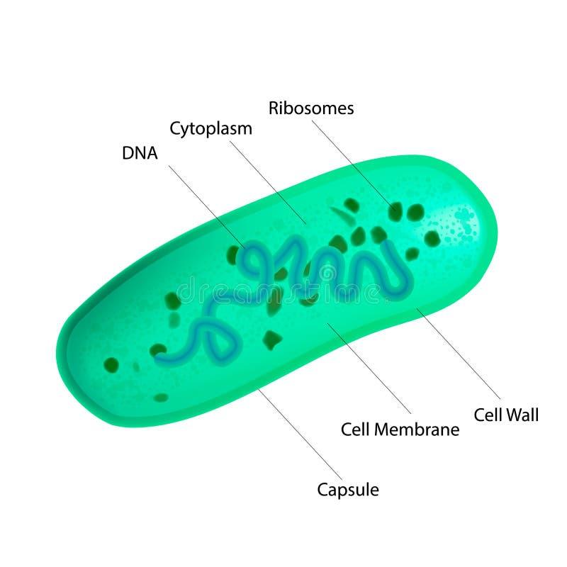 Structure de bactéries de lactobacille illustration libre de droits