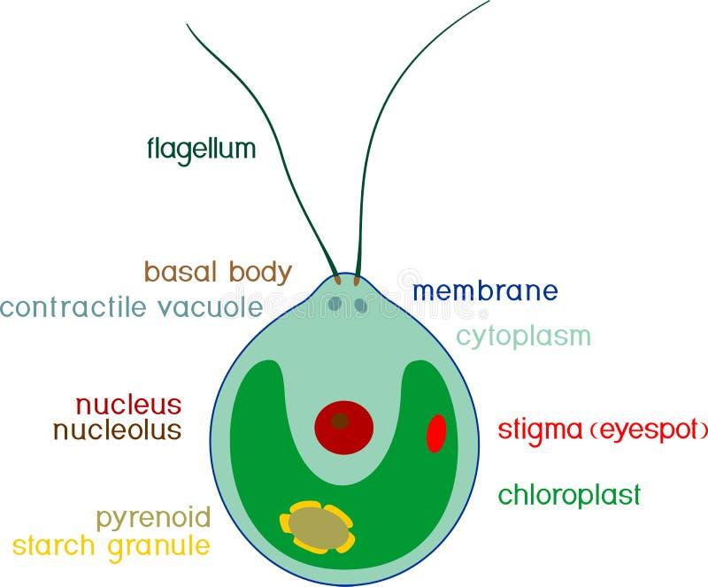 Structure de cellule de chlamydomonas avec des titres images libres de droits