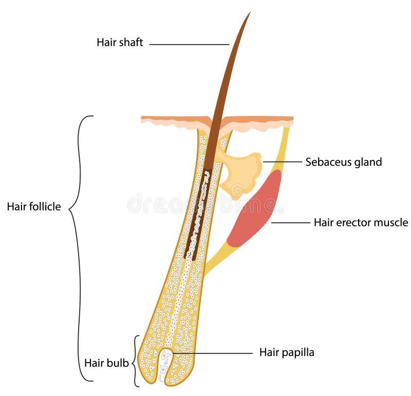 Structure de cheveux illustration libre de droits
