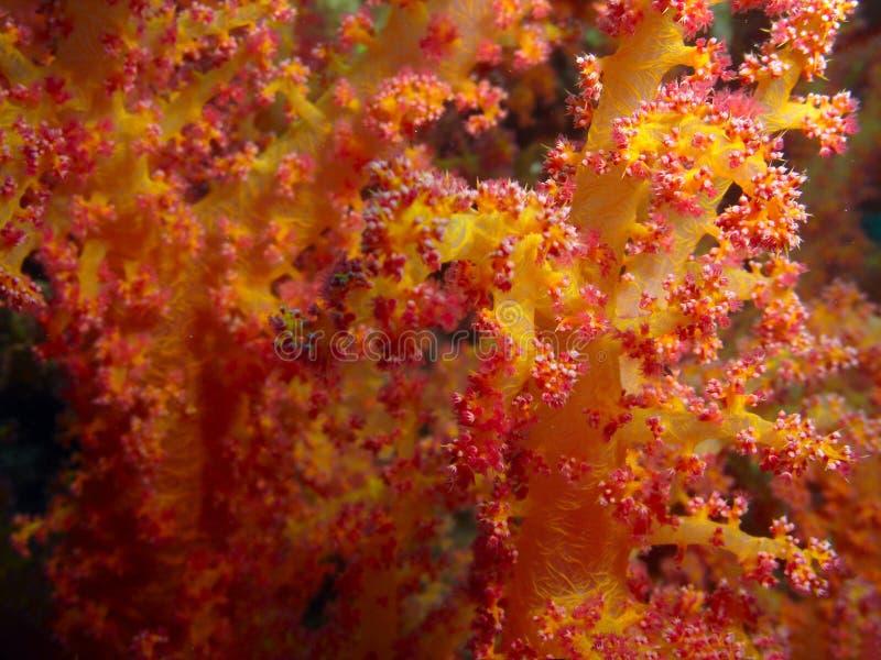 Structure de corail molle photo libre de droits