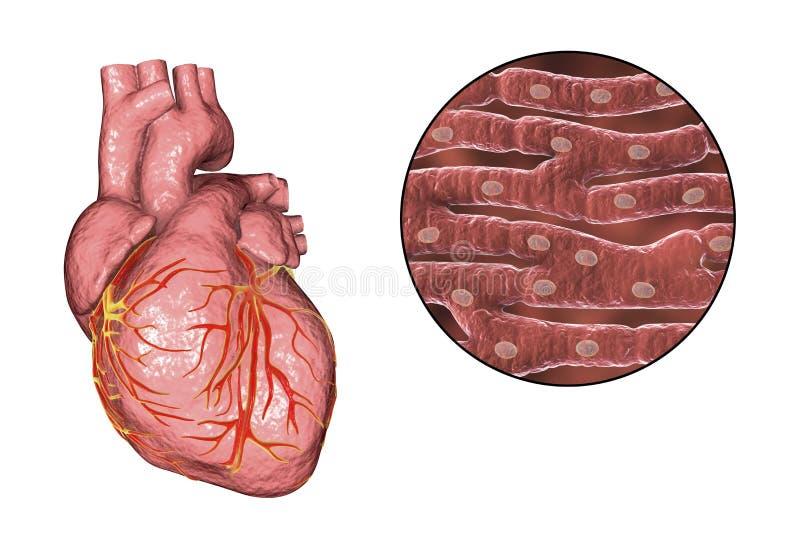 Structure de muscle cardiaque illustration de vecteur