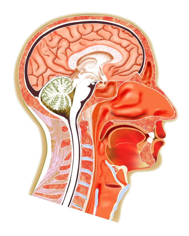 Structure de tête humaine illustration libre de droits