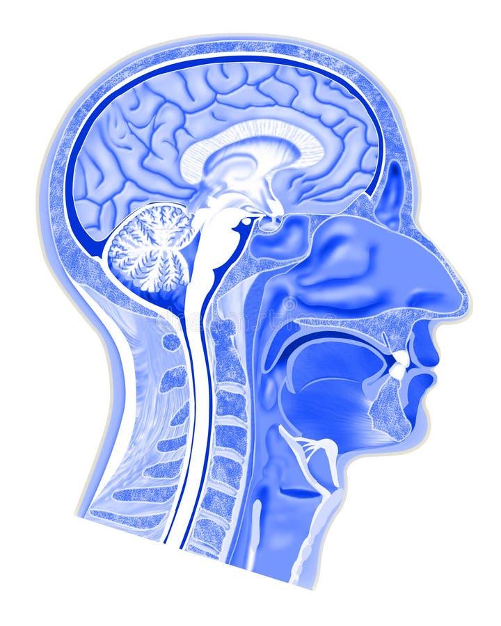 Structure de tête humaine illustration stock