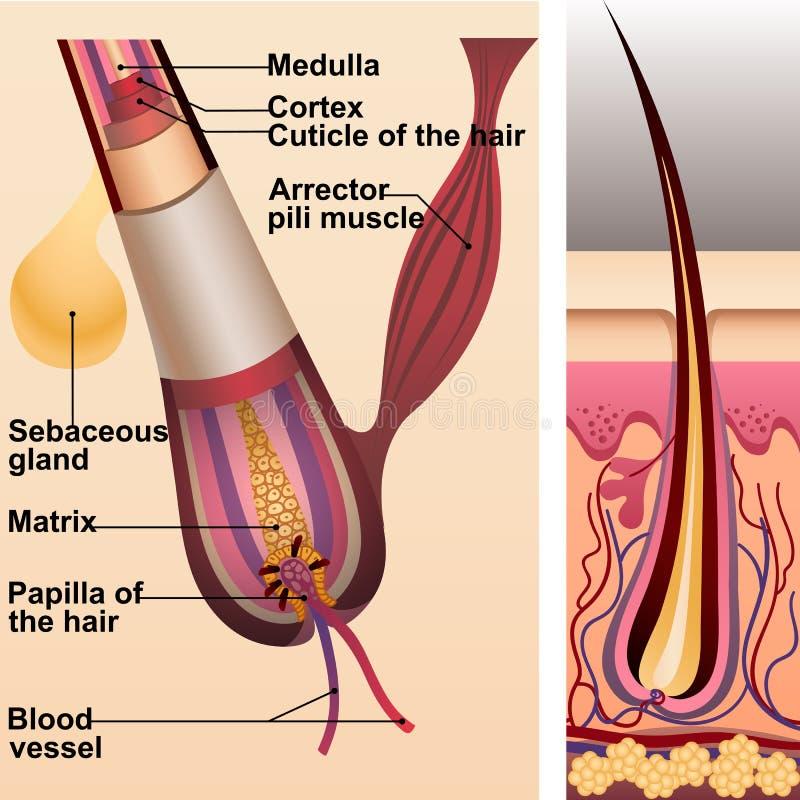 Structure des cheveux et la follicule et la glande sébacée illustration libre de droits
