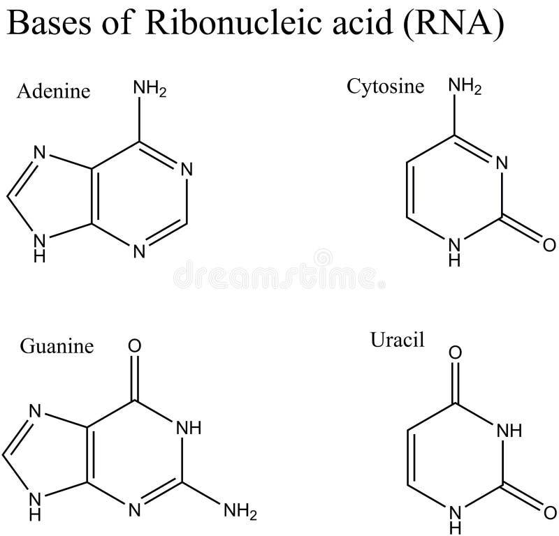 Structure des nucleobases d'ARN illustration de vecteur