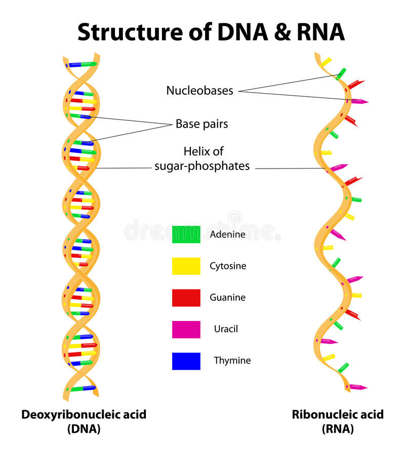 Structure DNA and RNA molecule. Vector vector illustration