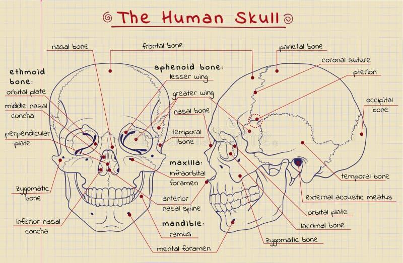 Structure du crâne illustration libre de droits