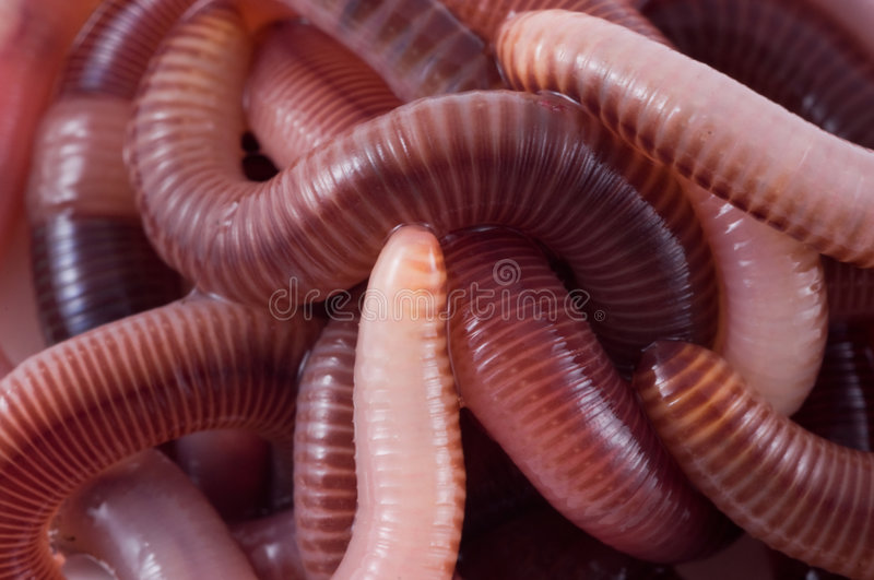 Download Structure. Earthworms Royalty Free Stock Photography - Image: 4827477