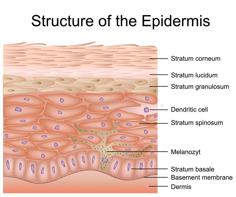Structure of the epidermis medical vector illustration, dermis anatomy stock illustration