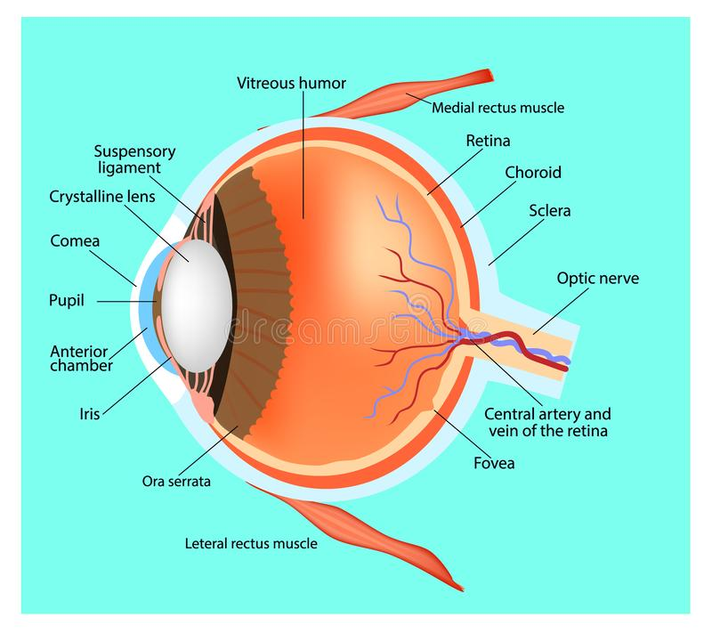 Structure of the eye. Human eye. Cross section through the eye. Educational material vector illustration