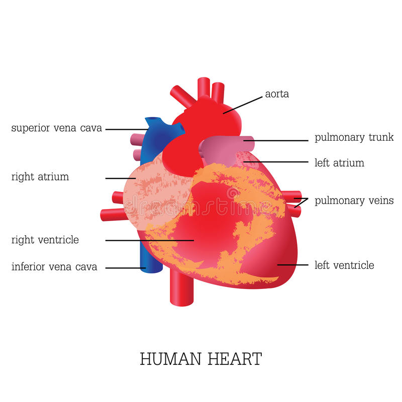 Structure And Function Of Human Heart System Stock Vector
