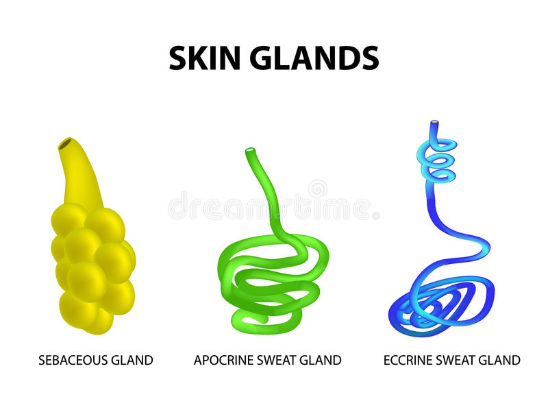 The structure of the glands of the skin. sebaceous, Eccrine sweat, Apocrine sweat. Set. Infographics. Vector illustration vector illustration