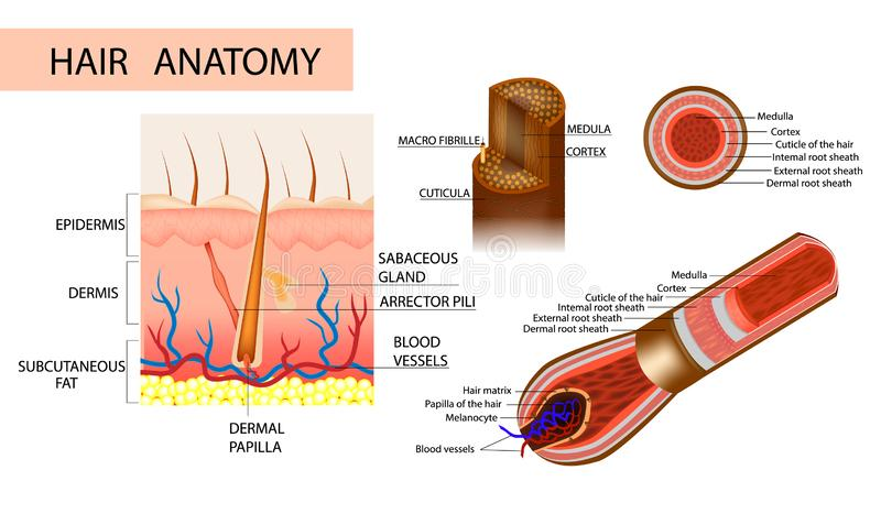 Structure of the hair. Detailed medical illustration. Structure of the hair. Anatomical illustration of hair bulb and hair follicle. Detailed medical royalty free illustration