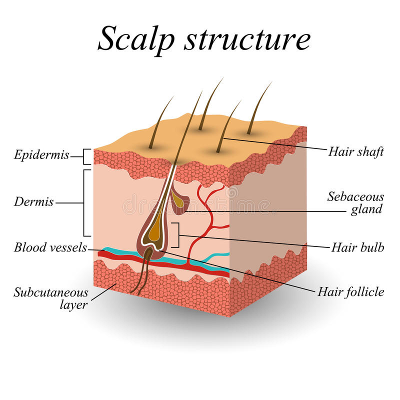 The structure of the hair scalp, anatomical training poster, vector illustration. The structure of the hair scalp, anatomical training poster. Vector stock illustration