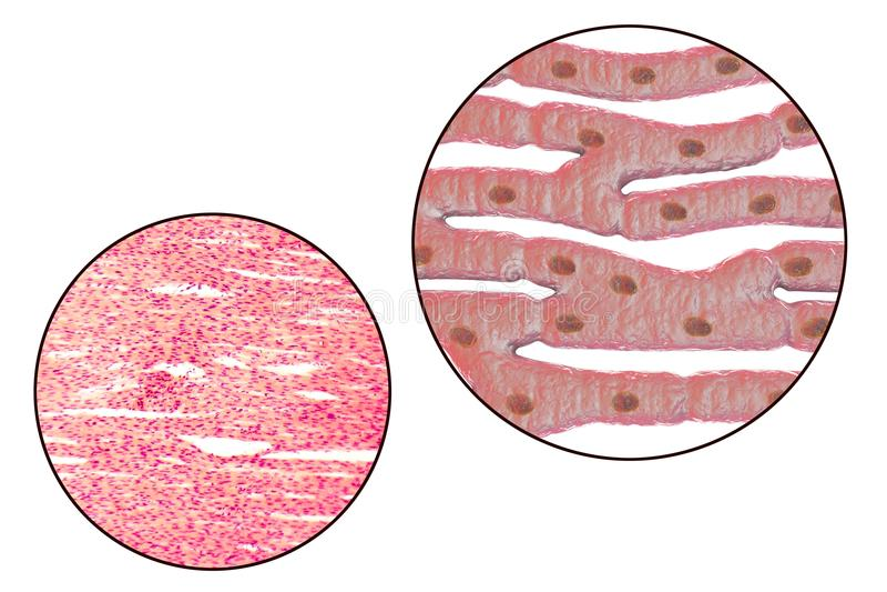 Structure histologique de muscle cardiaque illustration stock
