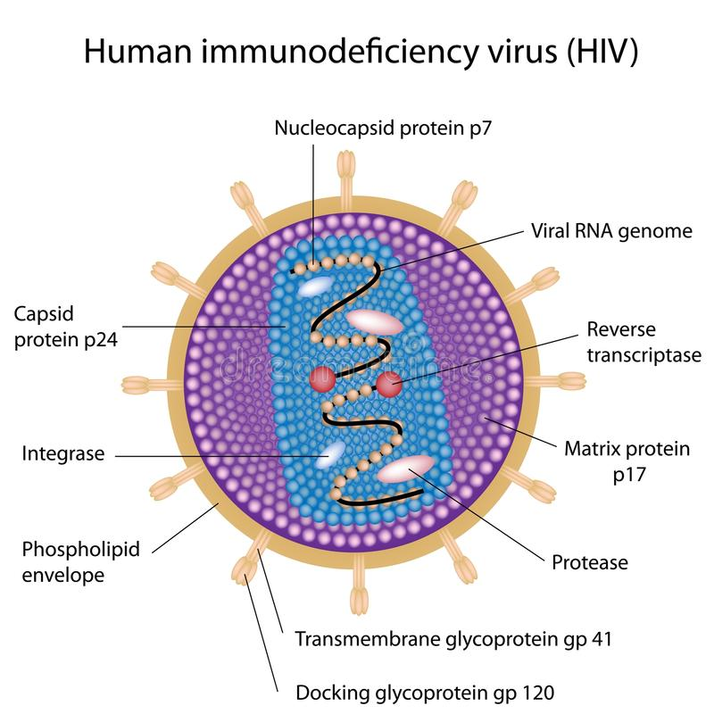 Structure of HIV royalty free illustration