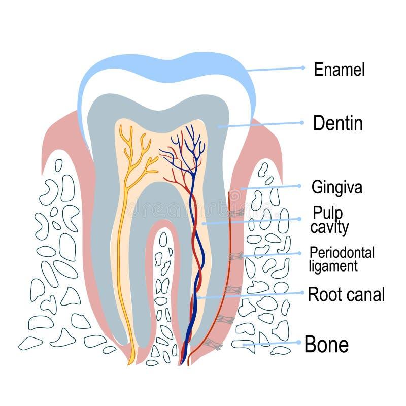 Structure humaine de dent avec la description Illustration de vecteur illustration de vecteur