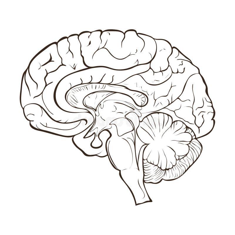 Structure Of The Human Brain Hemispheres Stock ...