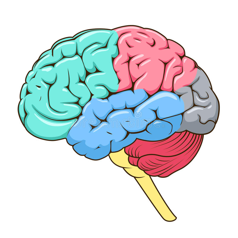 Structure Of Human Brain Schematic Vector Stock Vector