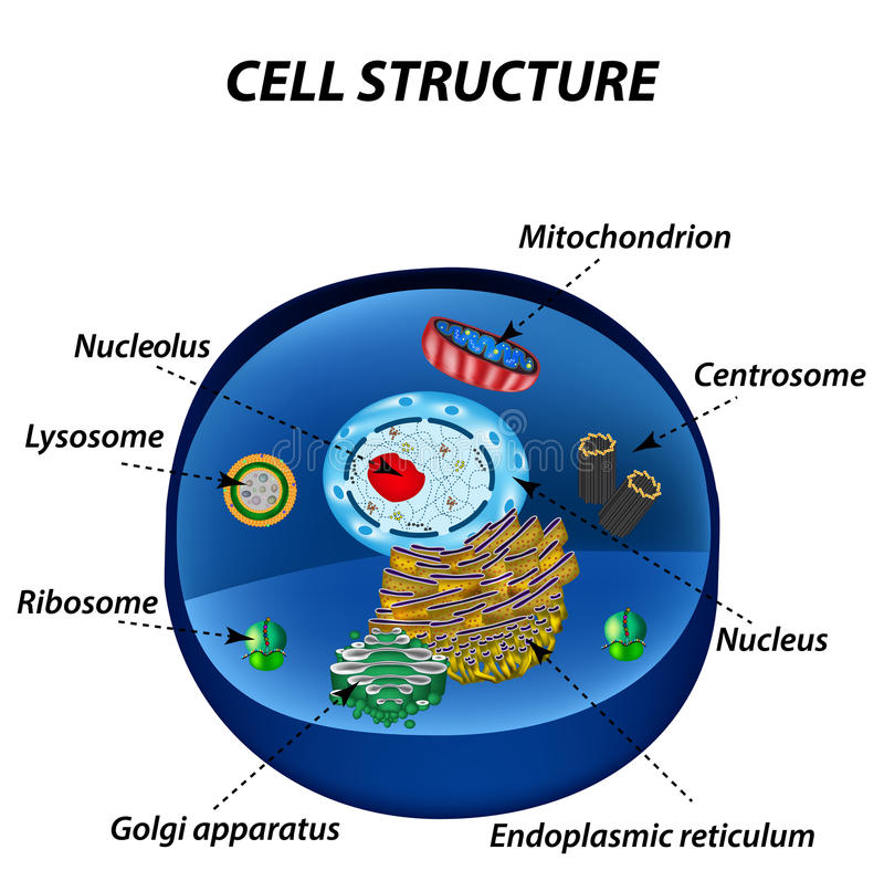 structure of human cells organelles the core nucleus. Black Bedroom Furniture Sets. Home Design Ideas