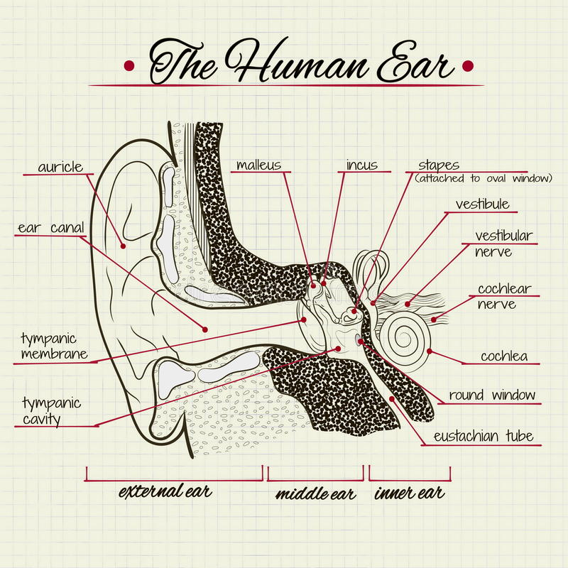 The structure of the human ear stock illustration