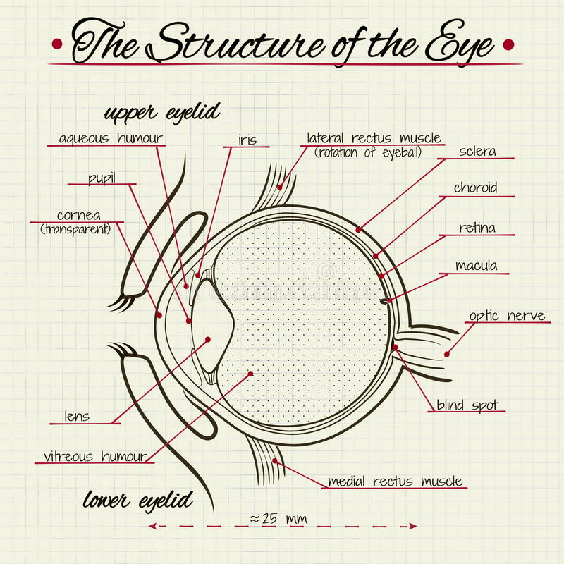 The structure of the human eye. Vector drawing of the structure of the human eye royalty free illustration