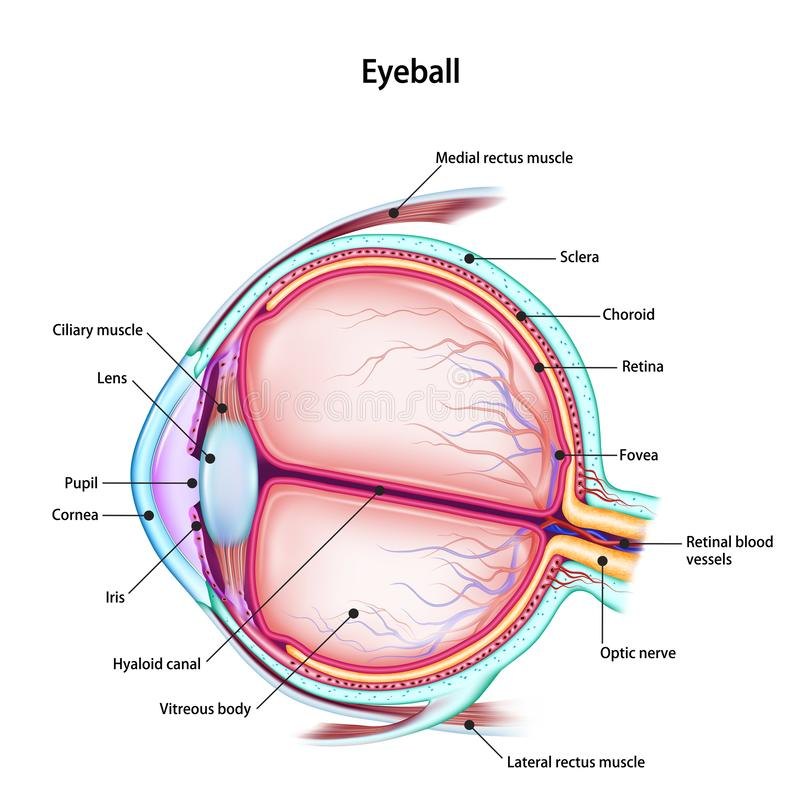 Structure of the human eyeball with the name and description of all sites. Medical didactic anatomy poster. Vector illustration isolated on a white background royalty free illustration