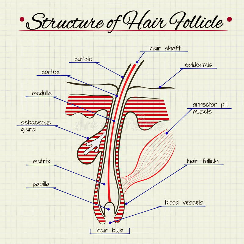 human digestion diagram the structure of human hair stock vector - image: 55017512