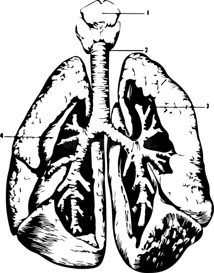 The structure of the human lungs in a cut with small things stock illustration
