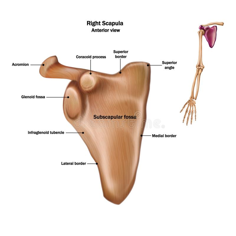 The structure of the human scapula bone with the name and description of all sites. Anterior view stock illustration
