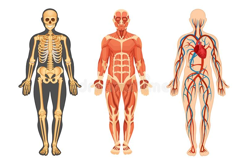 Structure of human, skeleton, muscular system, system of blood vessels. stock illustration
