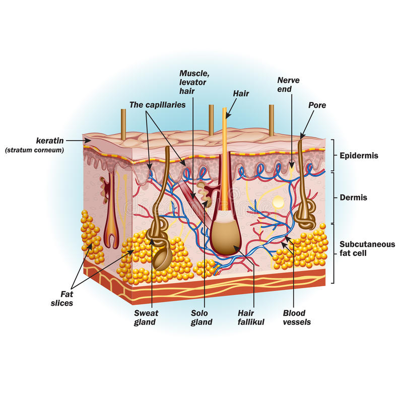 The structure of human skin cells vector illustration
