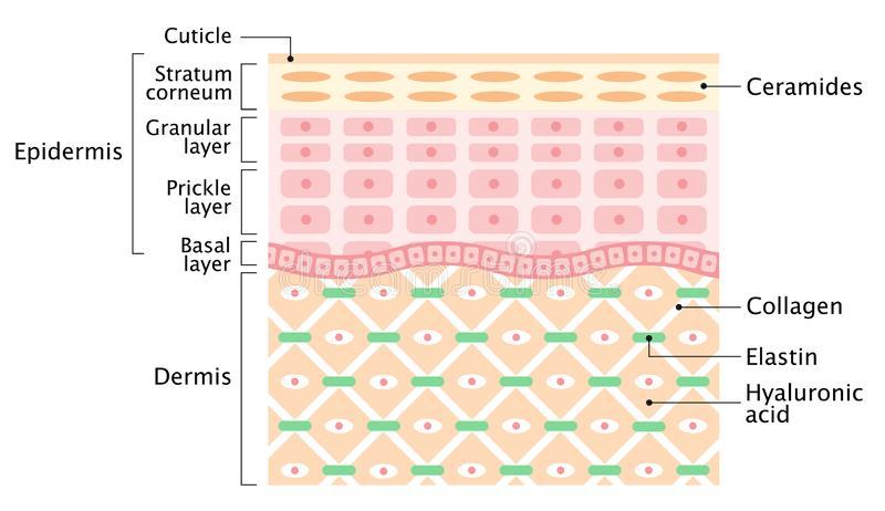 Layers of the Human skin. skin care and health concept vector illustration