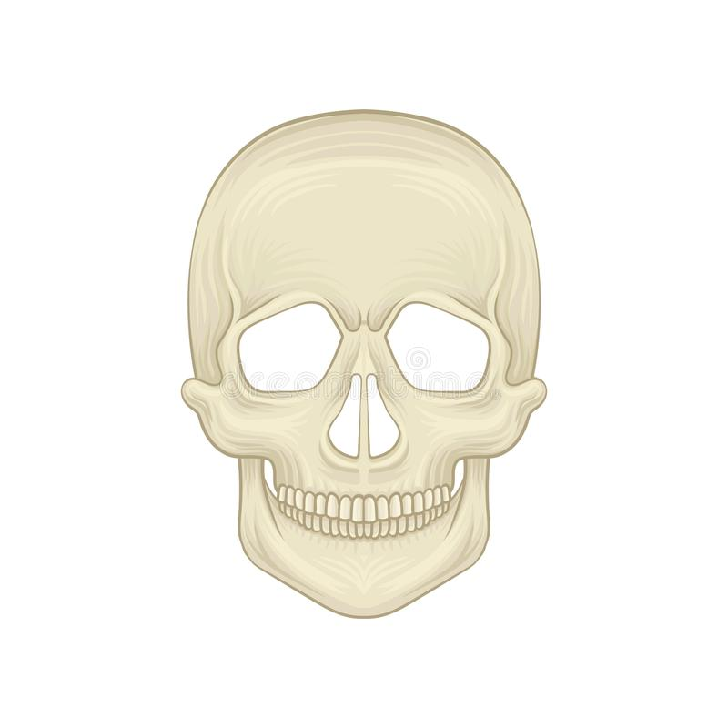 Structure of human skull - bony part of head. Cartoon icon in flat style. Braincase of modern sapiens. Front view. Detailed anatomical illustration. Vector royalty free illustration