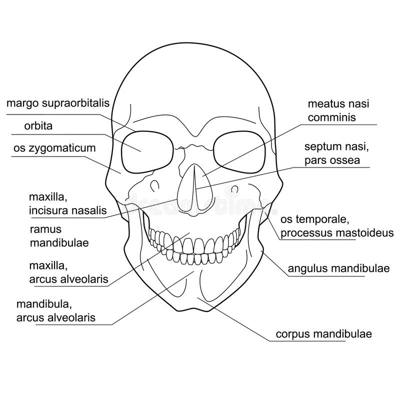 Structure of the human skull. stock illustration