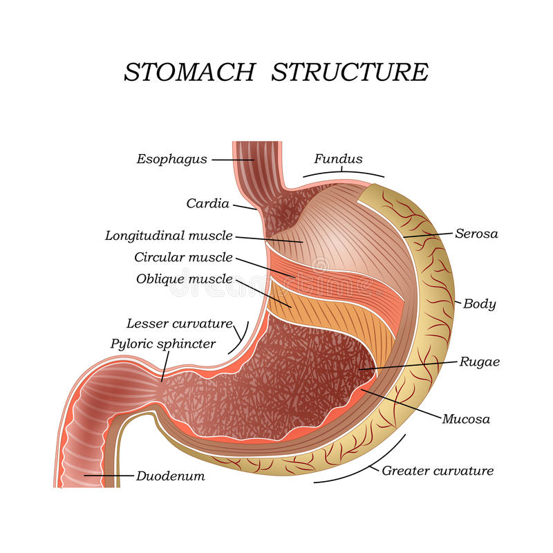 The structure of the human stomach, training medical anatomical poster for education, vector illustration. The structure of the human stomach, training medical royalty free illustration