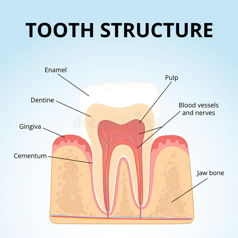 molar tooth structure - 800×800