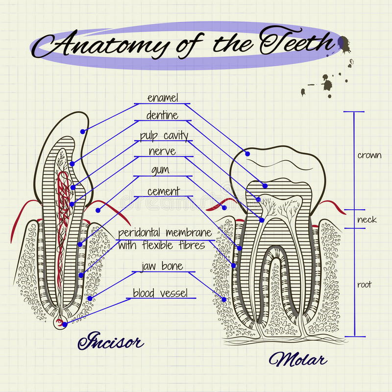 The Structure Of Human Tooth Stock Vector - Illustration of anatomy ...