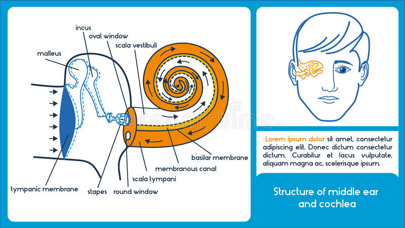 Structure of middle ear and cochlea. Location of semicircular canals and cochlea. Infographic scheme stock illustration