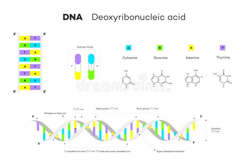 Structure moléculaire de l'ADN Illustration éducative de vecteur d'Infographic illustration libre de droits