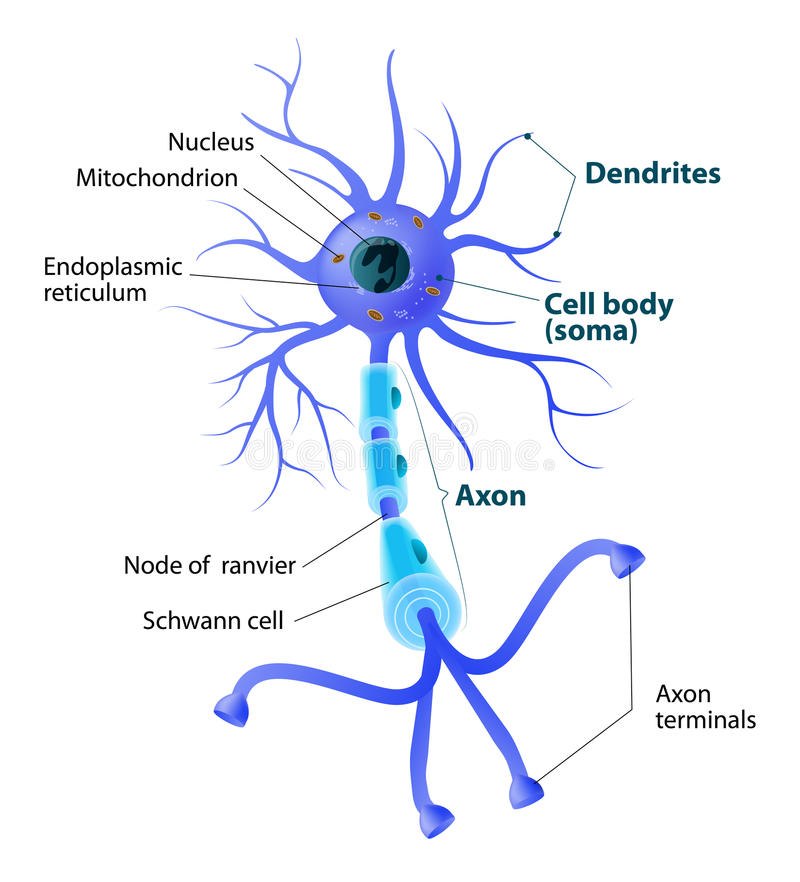 Structure Of A Motor Neuron Stock Vector - Illustration of ...
