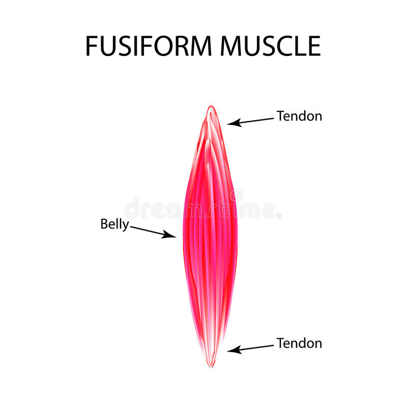 The structure of the muscle is fusiform. Infographics. Vector illustration on isolated background stock illustration