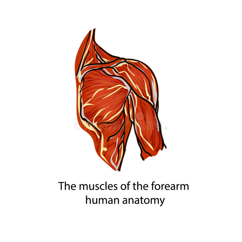 A structure of muscles of the shoulder royalty free illustration