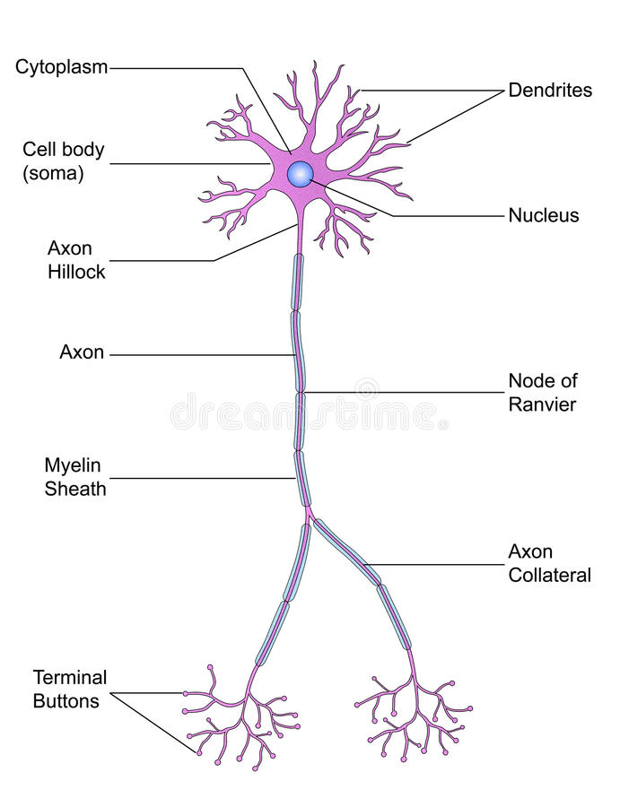Structure of Neuron stock image