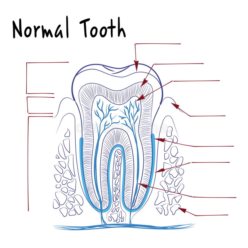 The structure of a normal human tooth vector illustration
