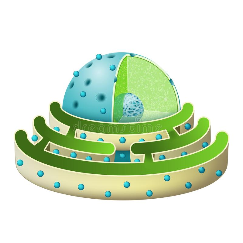 Structure of Nucleus and Rough endoplasmic reticulum. Parts of the cell nucleus: nuclear envelope, nucleoplasm, nuclear matrix, chromatin and nucleolus royalty free illustration