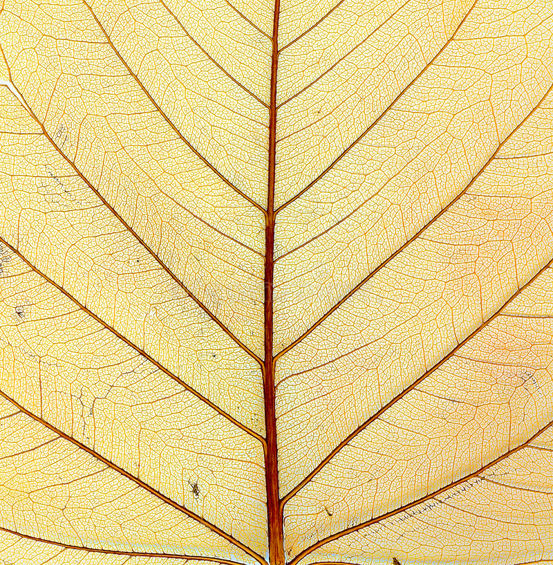 Free Structure Of Autumn Leaf. Macro. Stock Image - 6548661