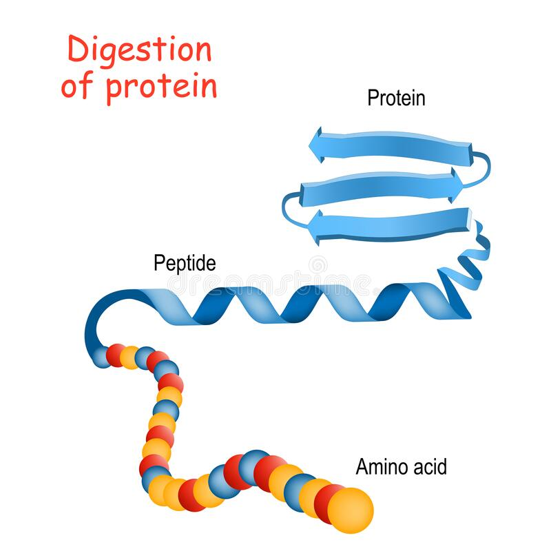 Free Structure Of Protein From Amino Acid To Peptide, And Protein. Close-up Of Protein Molecule Stock Photography - 170841602