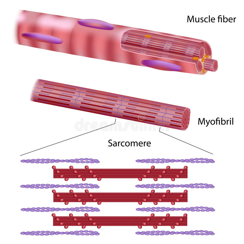 Free Structure Of Skeletal Muscle Fiber Royalty Free Stock Images - 27276029