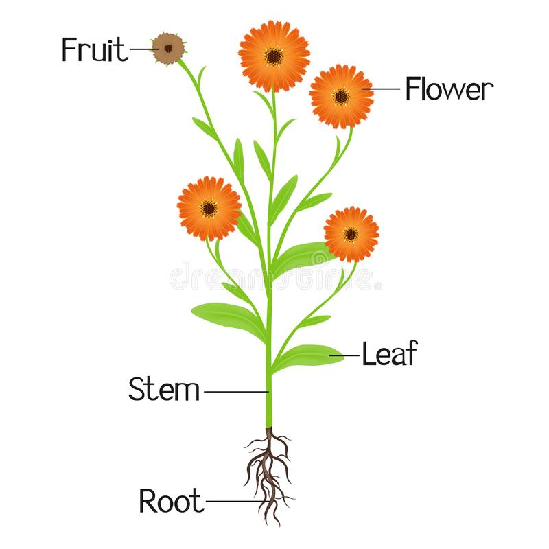 Structure Of The Plant Calendula. Stock Vector - Illustration of ...